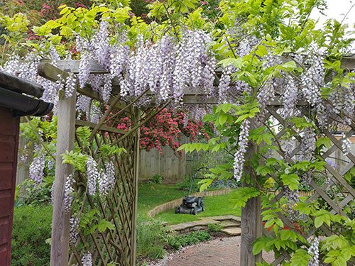 Wisteria-and-Hawthorn