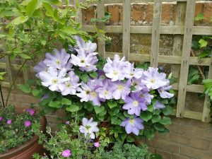 Clematis in container