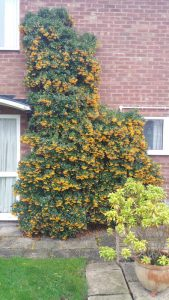 Pyracantha on house
