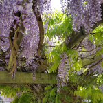 Wisteria on Arbour 2