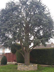 Pruning of Cedar