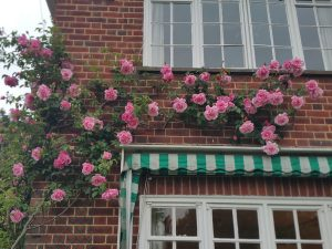 Rose On House