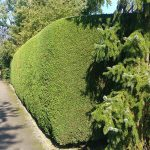 Hedge Cutting Leylandii