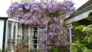 Wisteria On House