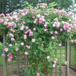 Roses on Arbour
