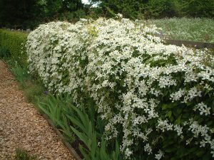 Clematis On Hedge